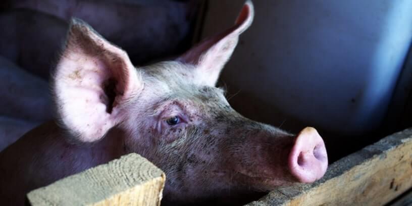 Un porc d'élevage